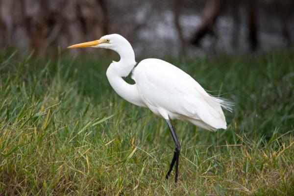 Цапля большая белая (Ardea alba)