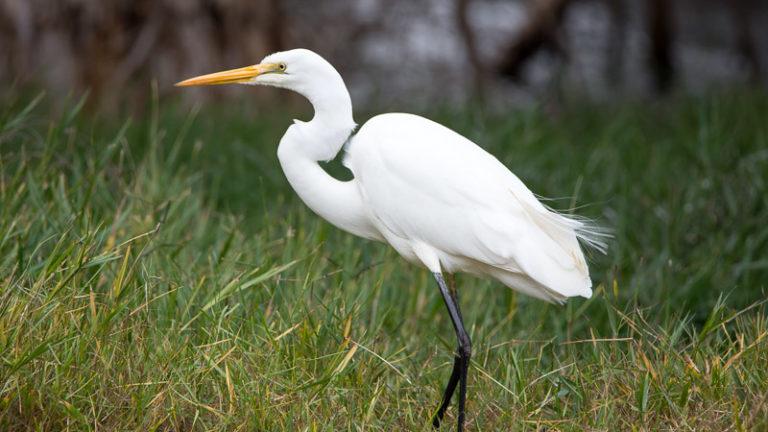 Птица цапля большая белая Ardea alba