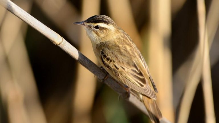 Камышевка-барсучок Acrocephalus schoenobaenus