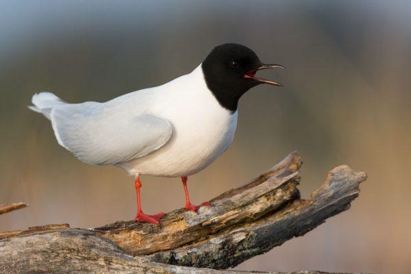 Чайка малая (Hydrocoloeus minutus)