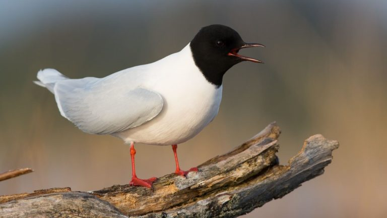 Чайка малая Hydrocoloeus minutus